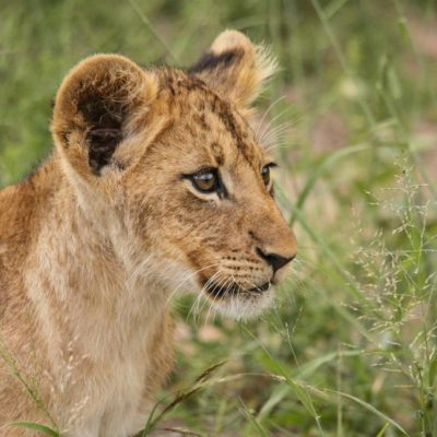 Londolozi Lion Cub - Alice Brewer